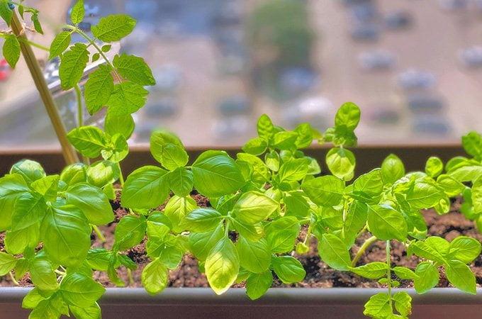 apartment garden - windowsill herbs