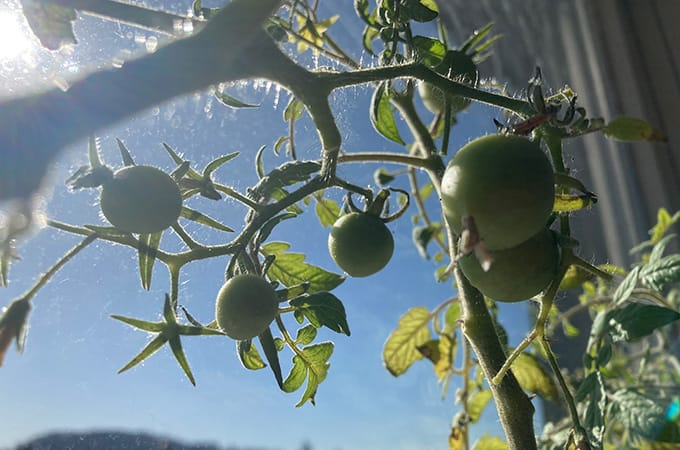 apartment gardening - windowsill tomatoes